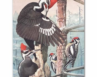 "Woodpecker Art, Vintage Bird Print (Country Cabin Wall Decor, Bird Lovers Gift) --- ""Pileated Woodpeckers"" No. 51"