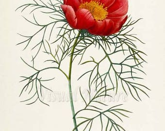 Peony Flower Art Print, Peony Botanical Art Print, Flower Wall Art, Flower Print, Floral Print, Redoute Art, red, green, Paeonia tenuifolia