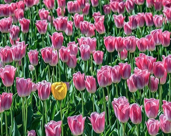 Spring Bloom Image, Flower Photography, Tulip Photos, Tulip Fields