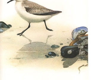 Vintage Sanderling 1970s Frameable Picture, West Coast Plate 18, Wall Art Print of Bird Watercolor by  J.F. Lansdowne