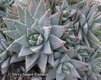 Aloe brevifolia- Beautiful, compact aloe species