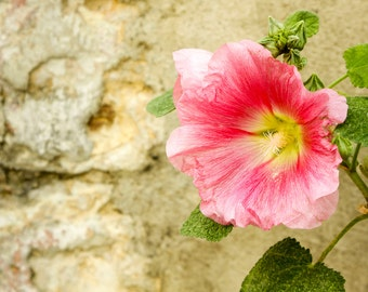 Pink hollyhock against rustic stone wall, France