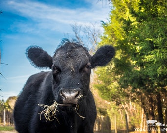 Vegan Steer Calf; Farm Animal Rescue Cattle Portrait Photography; Baby Cow Canvas Photograph; Cattle Woodprint; Calf Nursery Art Print