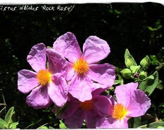Cistus albidus 'Rock Rose' 100+ SEEDS