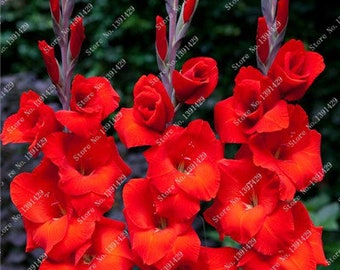 Gladiolus Bulbs, (not seeds) Perennial Flower 5 Bulbs (item No: 7)