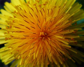 """OOAK Dandelion closeup photo printed on gallery-wrapped canvas, 14"""" w x 11"""" h, ready to hang"""