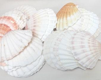 "Seashells - Set of 6 Large Scallop Shells - 3.5""-4""  sea shells bulk shells crafting coastal beach decor"