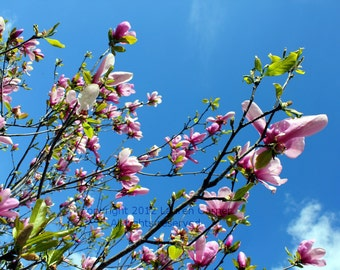 Reach Out - Japanese Magnolia Flower Bloom Photography Spring Pink Blue Sky Clouds Home Decor - 5x7 Photograph