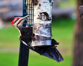Pileated Woodpecker near Lake Superior, Duluth, MN
