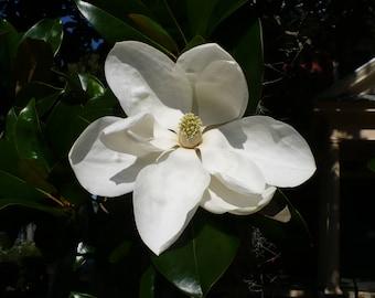Southern Magnolia   Magnolia grandiflora   100 Seeds
