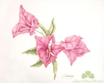 Bougainvillea, original watercolour botanic art painting