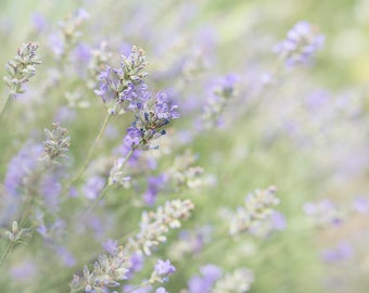 Lavender in my garden-flower photography -flower photo- cottage garden photography - Original fine art photography prints - FREE Shipping
