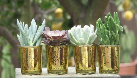 50 Wedding Favors Mini plants in Gold Glass Containers 2 inch