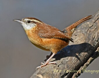 Carolina Wren, N. Carolina: archival print signed and matted