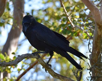 Crow on Crepe Myrtle