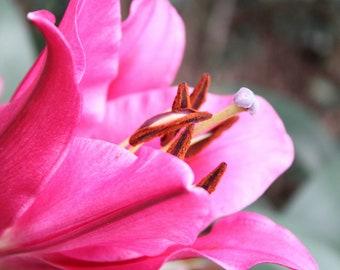 "8"" x 10"" Pink Fuchsia Lily Flower Fine Art Photo"