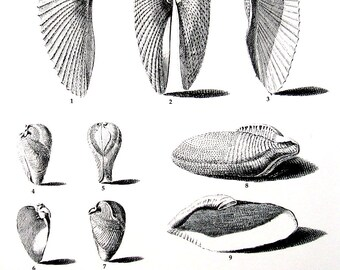 Shells Print - Angel Wing Shells - Vintage 1979  Book Page - Black and White