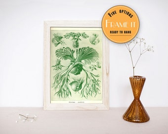 "Vintage Fern illustration from Ernst Haeckel  - framed fine art print, sea creatures,sea life, 8""x10"" ; 11""x14"", FREE SHIPPING - 295"