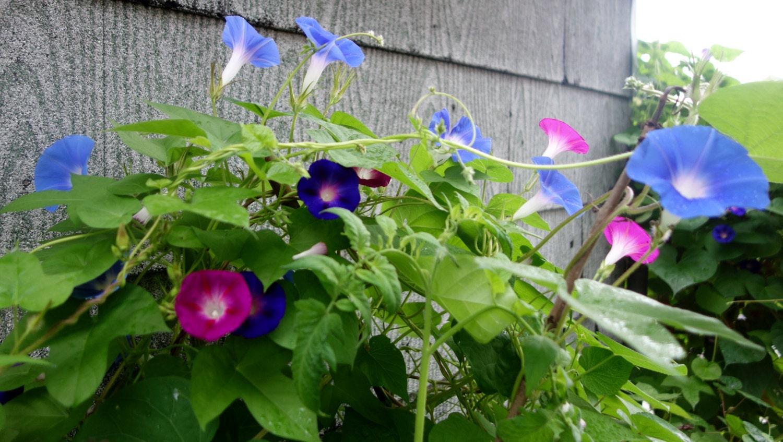 Morning glory seeds heaven blue morning glory seeds blue flowers 25 350 izmirmasajfo Images