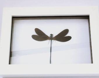 "Damselfly Displayed in a 4""×6"" Acrylic Box Frame"
