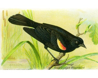Package of 12 Blank Note Cards,  Red-winged Blackbird
