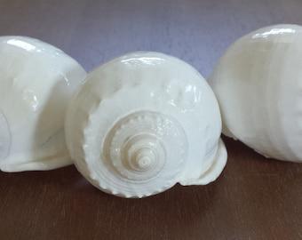 White Shells, (3) White SeaShells, Large White Shell, Beach Decor, Seashells, Shells, Craft Shells