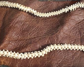 Texas Rattlesnake Vertebrae/ Backbone
