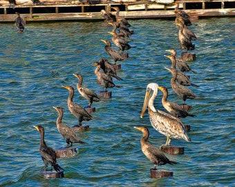 Pelican Identity Crisis