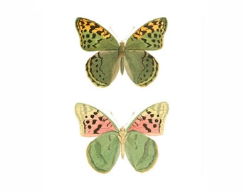 Butterfly Green Pink Yellow Orange Vintage Style Natural History Art Print