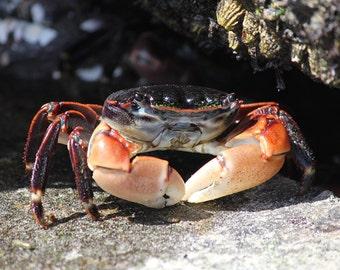 Crab Decor - Crab Art - Sea Life Art - Sea Life Decor - Sealife Prints - Ocean Wall Art - Seafood - Nature Photography / Ocean Photography
