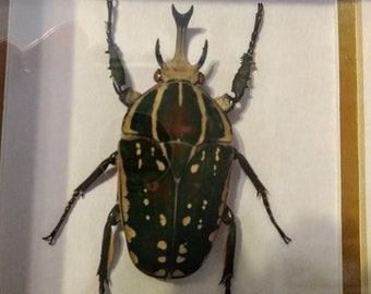 African beetle, Chelorrhina Polyphemus, Framed Insect, wooden shadow box