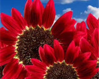 """40 Sunflower Seeds """"Red Sun"""" Heirloom Flower Seeds Multiple Blooms & Branches"""