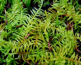 Live moss, creeping moss for terrarium, vivarium, frogs, fairy garden, miniature garden or floral decor. Live green cover and decor