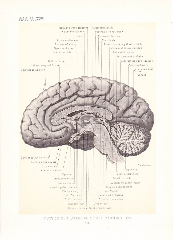 1899 Human Anatomy Print Side View of Brain Vintage
