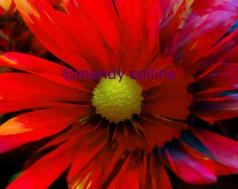 Bright Red Chrysanthemum is a fine art print of a beautiful chrysanthemum flower close up. Fine art photography by Mandy Collins