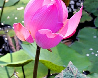 Pink Lotus Flower in Bali Indonesia - Fine Art Photograph Matted in White - Exotic Pink Water Lily Nature Photography - Spiritual Gift