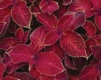 50+ Coleus Wizard Scarlet / Annual Flower Seeds