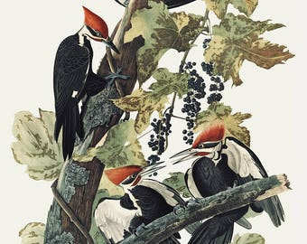 Pileated Woodpecker - Audubon bird print