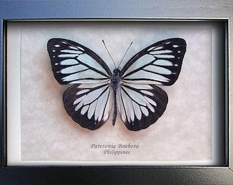 Powder Blue Pareronia Boebera Female Real Butterfly In Shadowbox