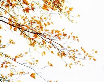 Autumn photography, autumn leaves, fall colors, maple leaves, maple tree, autumn color photo, harvest gold, auburn ochre, nature photo