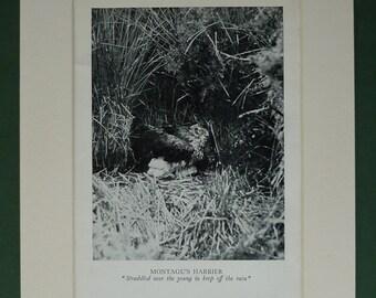1930s Vintage Montagu's Harrier Print - Bird Of Prey - Natural History - Bird Photograph - Available Framed - Ornithology Print - Bird Decor