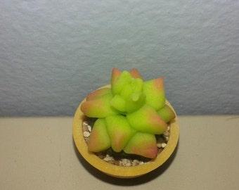 Miniature Succulent Plant