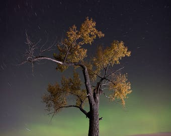 Picture of Tree, Tree in Fall, Fall Colors, Aurora Borealis, Rural Landscape