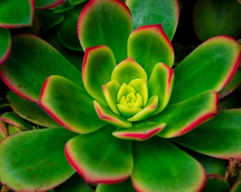Bright and Colorful Succulent Close Up Photographic Art Print