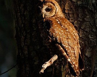 Spotted owl fine art photograph, owl photograph, spotted owl print, fine art owl photo