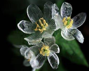 Skeleton Flower Diphylleia Grayi Perennial Seeds x 15