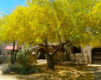 40 Fresh Blue Palo Verde Tree Seeds, Grown at Our Ranch in ARIZONA