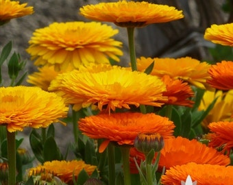 Calendula Officinalis, Fancy Mix Heirloom Seeds - Non-GMO, Open Pollinated, Untreated, Flower Seeds