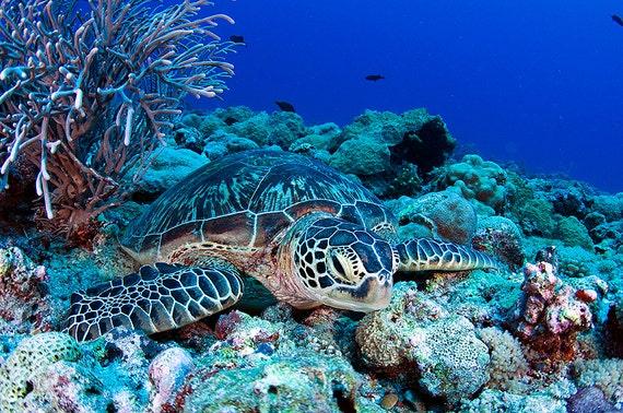 Sea Turtle Art ~ Sea turtle decor ~ Underwater Photography Print of resting sea turtle