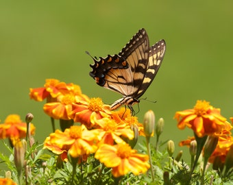 Butterfly Photography Fine Art Photo Print Gift for Her Gift for Mom Monarch Butterfly on Marigold